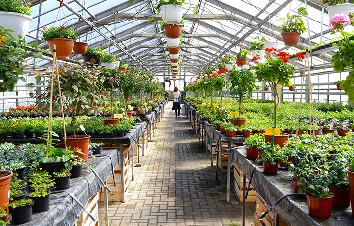 Inside of a greenhouse, with green plants lining each side of an aisle.