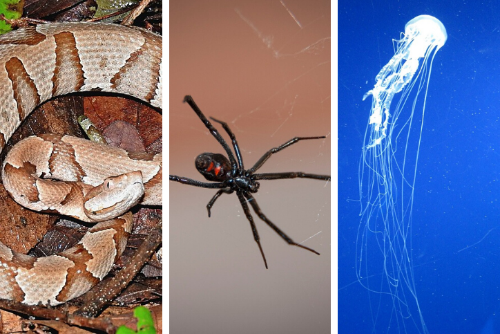 A collage with a copperhead snake, black widow spider, and an Atlantic sea nettle jellyfish
