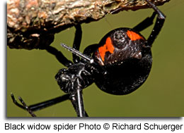 Black widow spider hanging upside down on a surface