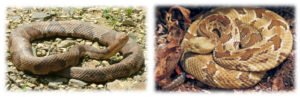 Collage of a Eastern Copperhead and Timber Rattlesnake
