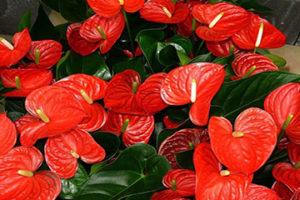 Red anthurium plant