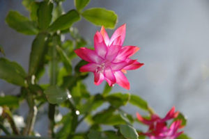 Christmas cactus plant with pink and white flower