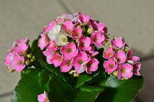 Pink kalanchoe plant with green leaves