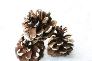 Pinecones with snow on tips
