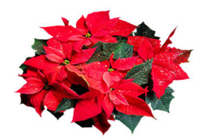 Tow view of red poinsettia with green leaves and glitter sprinkled on top